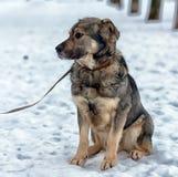 Brown con el perro mestizo gris Fotos de archivo