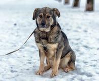 Brown con el perro mestizo gris Imagen de archivo libre de regalías