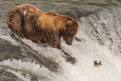 Brown concernent des regards fixes de cascade aux saumons images stock