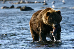 Brown concernent l'île de kodiak images libres de droits