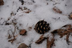 Brown cone lying in the snow royalty free stock images