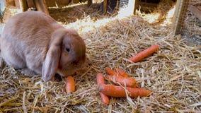 Brown, conejo dulce come zanahorias frescas en el aparador de conejo