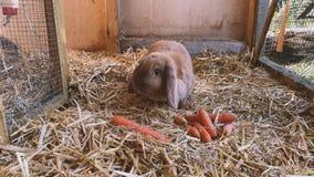 Brown, conejo dulce come zanahorias frescas en el aparador de conejo almacen de metraje de vídeo