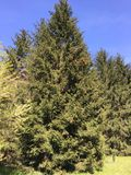 Green spruce tree with brown cones and blue sky. The brown cones on the branches of green spruce tree Royalty Free Stock Photos
