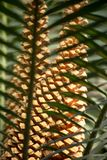 Brown cones of a cycas, or fern palm, or sago plant, are behind pinnate leaves stock photos