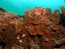 Brown Coral Reef Stock Images