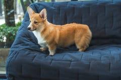 Brown corgi pies zdjęcie stock