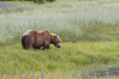 Brown Costal Bear Eating Sedge Grass Stock Image