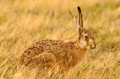 The brown cottontail rabbit. A brown cottontail rabbit in Patagonia, Argentina Stock Photography