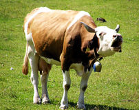 Brown cow. This cow is lowing in a green lawn Stock Photo