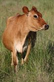 Brown Cow Royalty Free Stock Photography