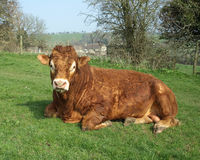 Brown Cow. Resting in a Field Stock Photo