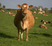 Free Brown Cow Stock Images - 14211574
