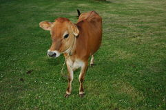 Brown Cow. In Pasture stock photos