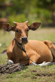 Brown cow. Young brown cow calf sitting in meadow in Bali, Indonesia Royalty Free Stock Images