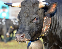 Brown cow. A brown cow (Herens breed from switzerland) with cow bell and decorative collar Stock Image