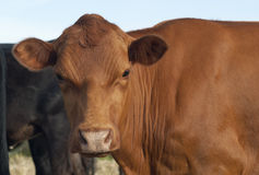 Brown Cow. A brown cow looking at the camera Stock Photography