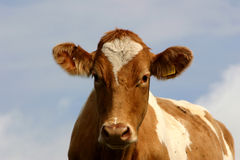 Brown Cow. Brown and cream coloured cow with blue sky background stock photo