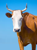 Brown Cow Royalty Free Stock Photo