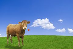 Brown cow. In an ideal agricultural word eating a red poppy Stock Image