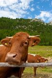 Brown cow in alps Stock Images
