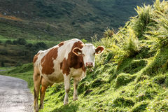 Brown cow in the alps Royalty Free Stock Images