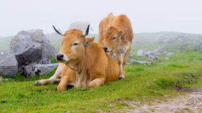 Brown Cow of Asturias (Northern Spain). Stock Images