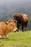 Brown Cow of Asturias (Northern Spain). Royalty Free Stock Photography
