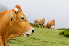 Brown Cow of Asturias (Northern Spain). Royalty Free Stock Images