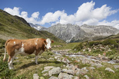 Brown cow in Austrian/Italian Alps. Brown cow in Austrian/Italian Alps with mountain view of Hochgall in background, Tyrol Royalty Free Stock Photography