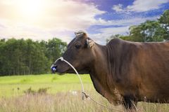 Brown cow beef royalty free stock photography