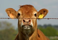 Brown cow behind fence Royalty Free Stock Images