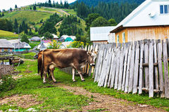 Brown cow breaks the wooden fence. The west of Ukraine Stock Photo