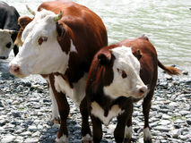 Brown cow with the calf. Royalty Free Stock Photo