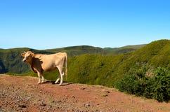 Brown cow calf cattle mountains free wild countryside. Farm wildlife animal Royalty Free Stock Photos