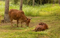 Brown Cow With Calf Royalty Free Stock Photography