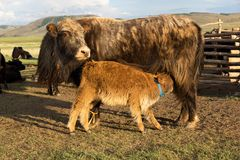 Brown cow and calf suckling Royalty Free Stock Photography