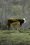 Brown cow and calf suckling in a prairie Royalty Free Stock Images