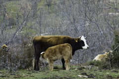 Brown cow and calf suckling in a prairie Stock Photos
