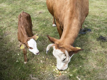 Brown cow and calf with white face in grass feeding Stock Photos