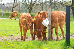 Brown cow calves Royalty Free Stock Photos