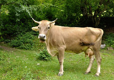 Brown cow chewing Royalty Free Stock Photography