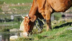 Brown Cow Close Up stock video
