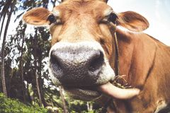 Brown cow close up Royalty Free Stock Images