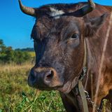 Brown cow with clover in mouth royalty free stock photography