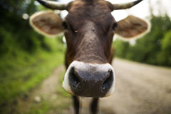 Brown cow on the country road Royalty Free Stock Photography