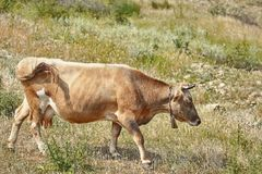 Brown Cow with a Cowbell. On the Pasture Land stock photos