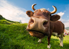 Brown cow. A curious brown cow against a blue sky backdrop Stock Image