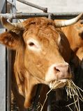 Brown cow eat straw and hay in the barn of the farm Royalty Free Stock Photos