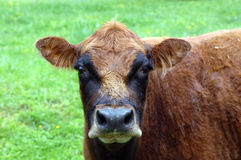 Brown Cow Eating Royalty Free Stock Photos